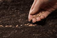 Как подготовить семена к посадке в теплицу